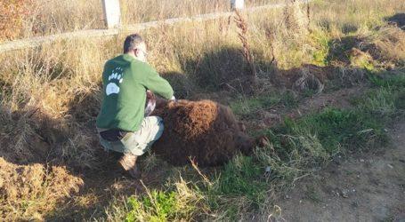 Νεκρή αρκούδα 250 κιλών σε τροχαίο στη Μεσοποταμία Καστοριάς