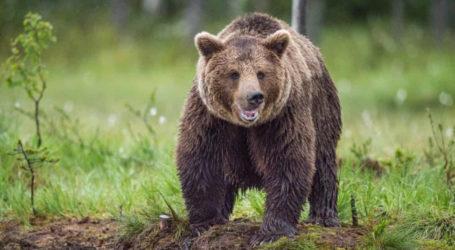 Εθεάθη μεγαλόσωμη αρκούδα στο δρόμο Συκαμινέας – Ροδιάς