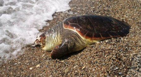 Νεκρή χελώνα καρέτα καρέτα στα Καλά Νερά