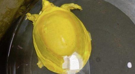 Κίτρινη χελώνα – αλμπίνος βρέθηκε στην Ινδία