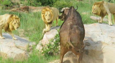 Σκληρές εικόνες: Τρία αρσενικά λιοντάρια κατασπαράζουν βουβάλι με σπασμένο πόδι που παλεύει μέχρις εσχάτων! (vid)