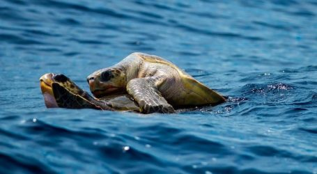 Ξεκίνησε ο ετήσιος ερωτικός μαραθώνιος θαλάσσιων χελωνών: Θα διαρκέσει μέρες με πολλές εναλλαγές συντρόφων