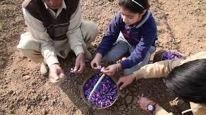 Μαζεύοντας σαφράν στο Κασμίρ (vid)