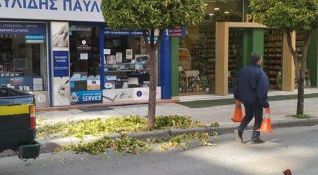 Καλλωπίζουν τα δέντρα στο κέντρο της Λάρισας για να υποδεχθούν τον χριστουγεννιάτικο φωτισμό (φωτο)