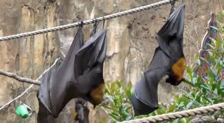 Οι άρρωστες με κορωνοϊό νυχτερίδες τηρούν αποστάσεις για να προστατέψουν τις υγιείς