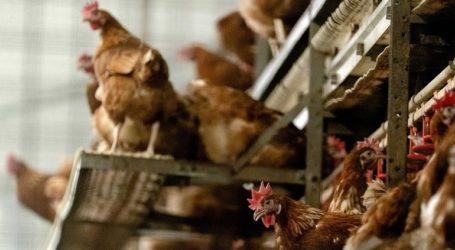Η Δανία θανατώνει 25.000 κοτόπουλα