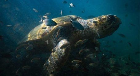 Νεκρή χελώνα καρέτα καρέτα στην Αγία Τριάδα