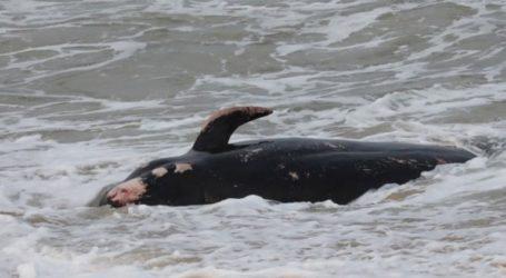 Περίπου 100 φάλαινες νεκρές στα νησιά Κάθαμ