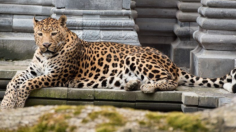 leopardali pixabvay