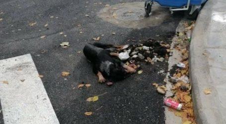 Ν. Ιωνία: Έριξαν φόλες και σκότωσαν σκύλο [σκληρή εικόνα]