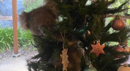 Γύρισαν στο σπίτι και βρήκαν ένα κοάλα πάνω στο χριστουγεννιάτικο δέντρο