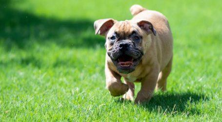 Πότε παχαίνει ο σκύλος και πώς μπορεί να χάσει βάρος
