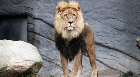 Τέσσερα λιοντάρια στον ζωολογικό κήπο της Βαρκελώνης βρέθηκαν θετικά στον Covid-19