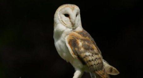 Το νυκτόβιο αρπακτικό πτηνό που θα γίνει ο εξολοθρευτής των ποντικών στη Λάρισα