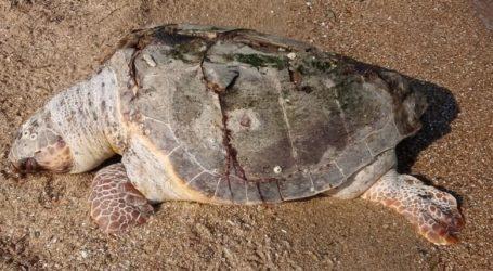 Νεκρή χελώνα καρέτα – καρέτα στη Σκιάθο