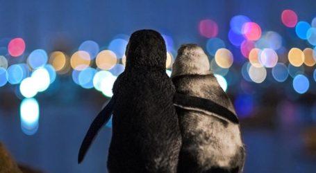 Αυτή η συγκινητική φωτογραφία δύο χήρων πιγκουίνων που αγκαλιάζονται κέρδισε το πρώτο βραβείο φωτογραφίας