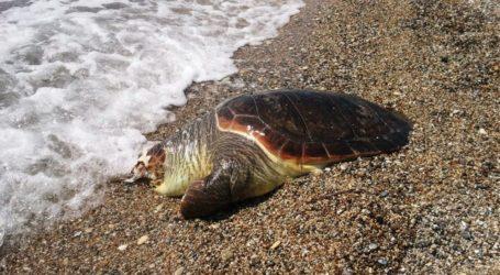 Νεκρή χελώνα καρέτα καρέτα στην Άφησσο