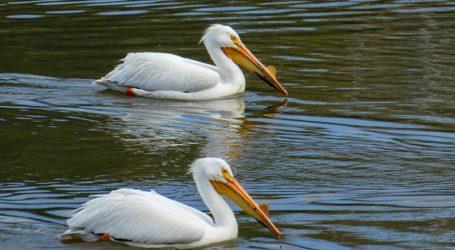 Εκατοντάδες πελεκάνοι βρέθηκαν νεκροί σε ένα καταφύγιο πουλιών