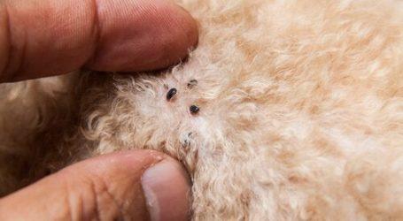 Βόλος: «Επίθεση» ψύλλων σε σκύλους λόγω καλού καιρού – Σε έξαρση το φαινόμενο