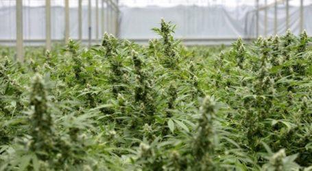 Ζάκυνθος: Εντοπίστηκε εργαστήριο καλλιέργειας κάνναβης