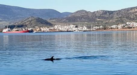 Δελφίνια επισκέφτηκαν το Λιμάνι του Βόλου