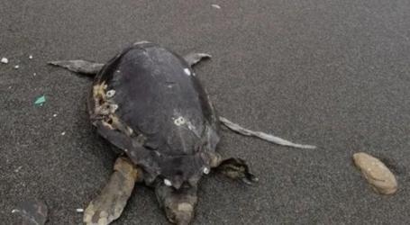 Νεκρή θαλάσσια χελώνα στη Σκιάθο