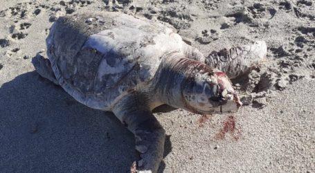 Νεκρή θαλάσσια χελώνα στο Πήλιο [εικόνες]