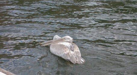 Εντοπίστηκε ο ιός της γρίπης των πτηνών σε τρεις αργυροπελεκάνους στη λίμνη Κερκίνης