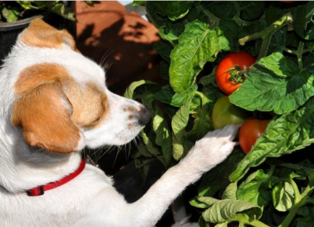 dog sniffing tomatoes