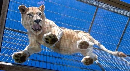 Η κυβέρνηση θα απαγορεύσει την εκτροφή λιονταριών σε αιχμαλωσία