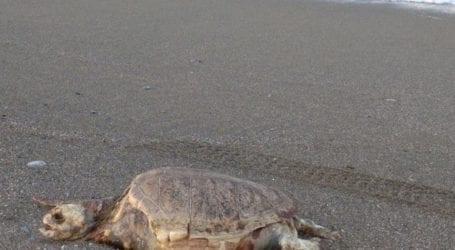 Λουόμενοι εντόπισαν θαλάσσια χελώνα – Ξεβράστηκε στην παραλία της Σωτηρίτσας (φωτο)