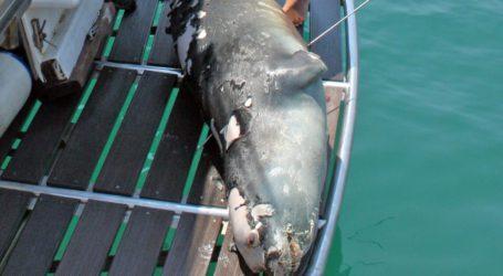 Ένωση Υποβρύχιων Αλιέων: Η θανάτωση του «Κωστή» δεν είναι έργο υποβρύχιου αλιέα