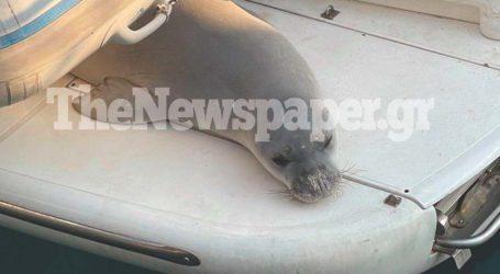 Οργή στην Αλόννησο – Σκότωσαν τον Κωστή, τη φώκια μασκώτ του νησιού [εικόνες]