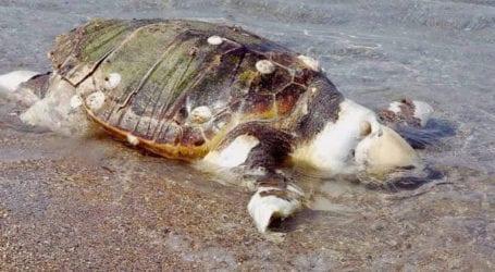Νεκρή χελώνα καρέτα καρέτα στα Πλατανίδια