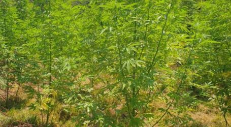 Εντοπίστηκε φυτεία δενδρυλλίων κάνναβης στο Ρέθυμνο