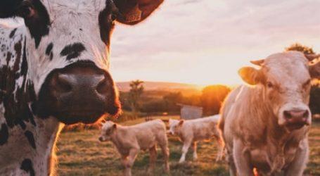 Ολλανδία – Η κτηνοτροφία στο «στόχαστρο», λόγω κλιματικής κρίσης