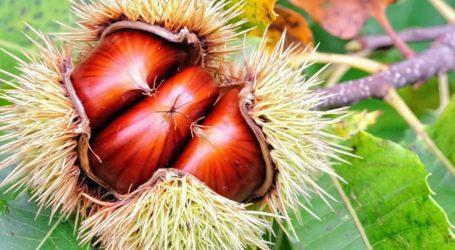 Μαρούδας: Στο 80% οι ζημιές στα κάστανα στην περιοχή της Αγιάς από την κακοκαιρία